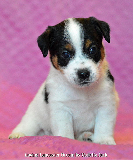 Loving Lancaster Dream Violetta Jrt