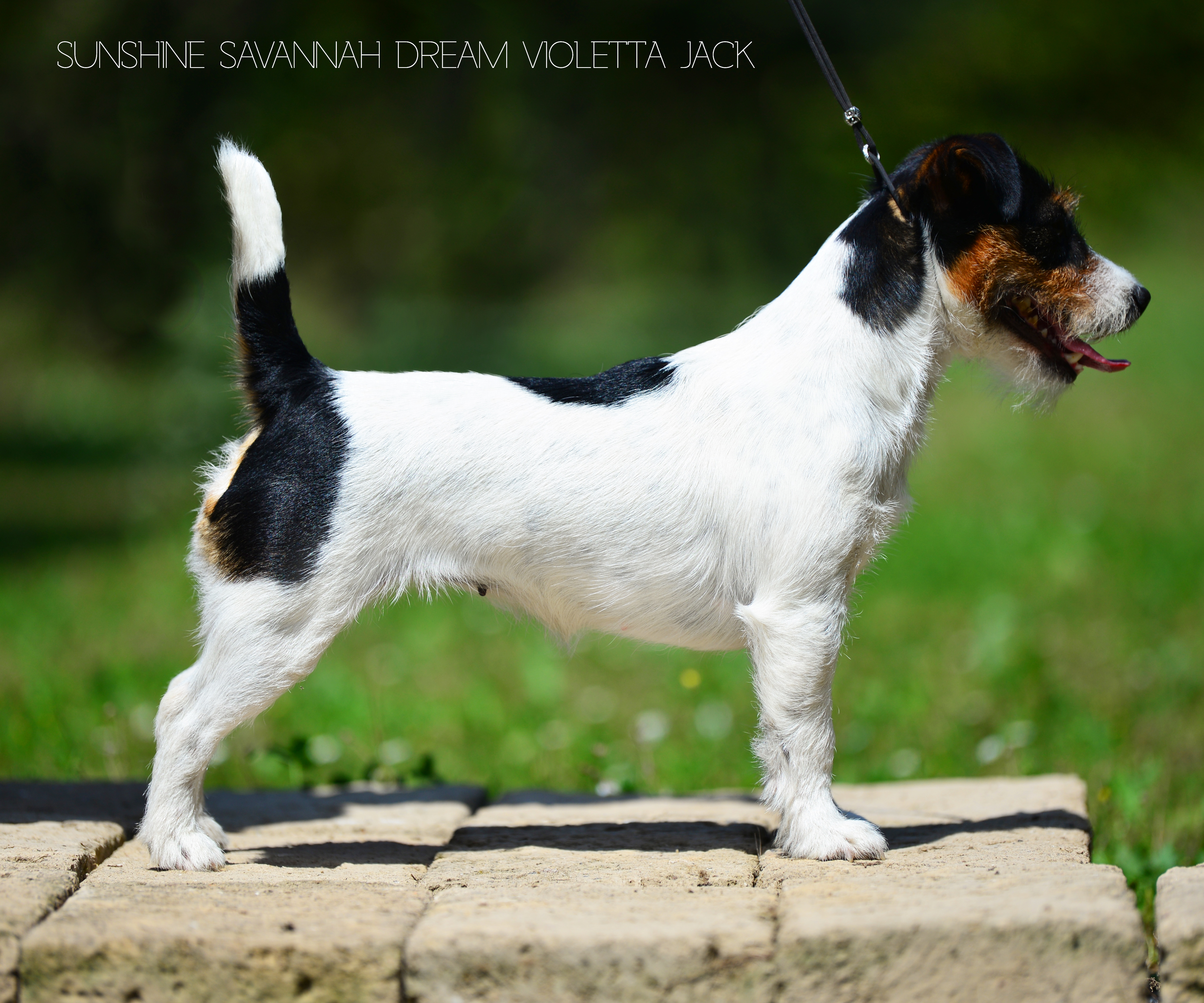 Sunshine Savannah Dream Violetta Jrt
