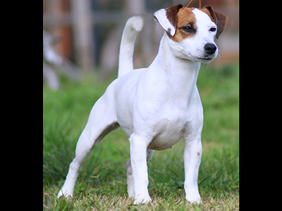 violetta jack russell kennel our jack russell champions