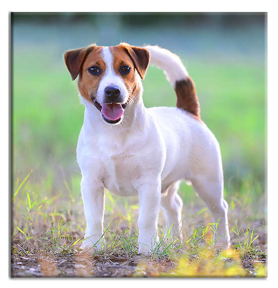 Violetta Jack Russell Kennel Breeding Puppies In Italy