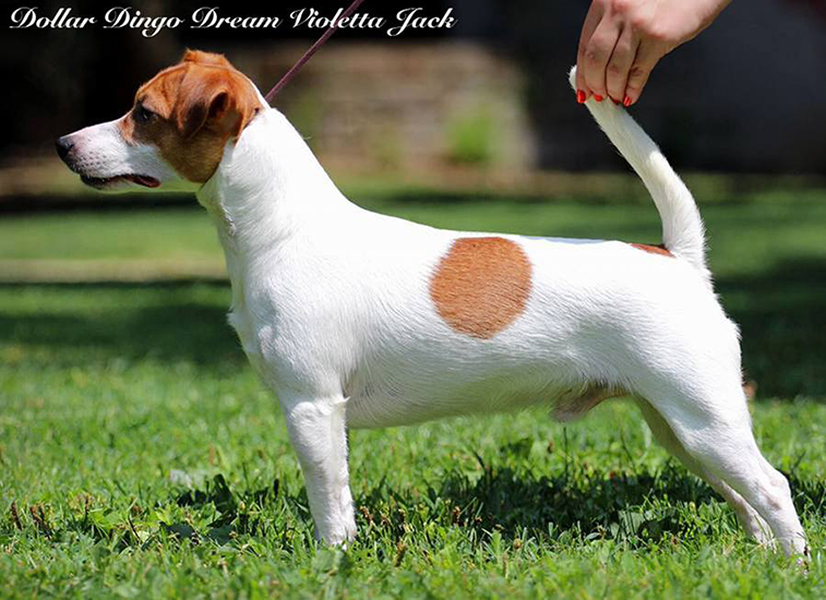 Ch/jCh Dollar Dingo Dream Violetta Jack